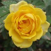 20100201185303-flor-amarilla.jpg