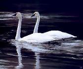 20100509150532-cisnes.jpg